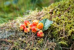 Cloudberry on a green vegetative background in wood. Fresh wild fruit Stock Photos