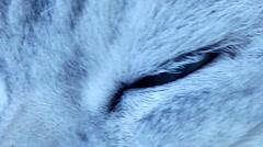 Beautiful british chinchilla cat green eyes Stock Footage