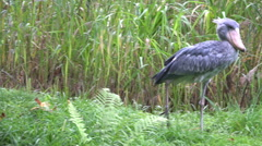 Shoebill bird walking green grass reed meadow sunny day Stock Footage