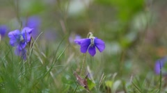 A close up of Viola flower in Spring Season with sounds of Nature. - stock footage