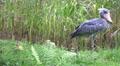 4k Shoebill bird walking green grass reed meadow sunny day 4k or 4k+ Resolution