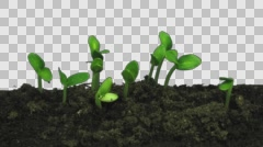 Time-lapse of growing cucumbers with ALPHA channel Stock Footage