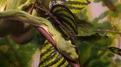 Green Tree Python Stock Footage