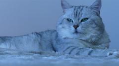 British chinchilla cat looking around Stock Footage