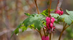 Branches of Bleeding hearts in Spring season with sounds of Nature. Stock Footage