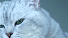 British chinchilla cat turning head toward camera Stock Footage