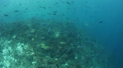 Schooling Fish and Reef Slope in Dampier Strait, Raja Ampat - stock footage