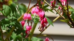 Branches of Bleeding hearts in Spring season with sounds of Nature. - stock footage