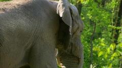 African Elephant (Loxodonta Africana) - stock footage
