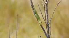 4K Carolina anole (Anolis carolinensis) Stock Footage