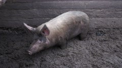 The pig is in the mud Stock Footage