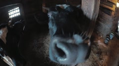 The cow sniffs the camera - stock footage