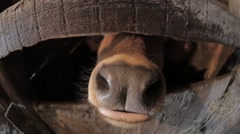 Little bull in the stall Stock Footage