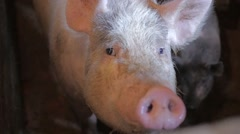 Pig in a pigsty Stock Footage