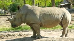 White Rhinoceros (Ceratotherium Simum) Stock Footage