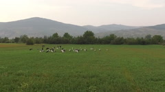 Aerial view of a flock of storks flying over a green field Stock Footage