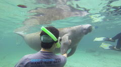 A manatee vocalizes and gets a belly rub from a diver Stock Footage