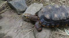 Sulcata tortoise meduim shot Stock Footage