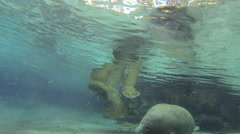 Young and mature manatees glide along a spring bottom Stock Footage