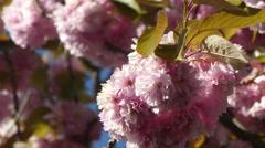 Kanzan cherry blossom sunny day Stock Footage