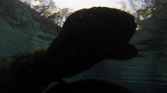 Mossback manatees gliding just beloe the surface Stock Footage