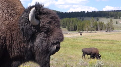Yellowstone Bison Wildlife Stock Footage