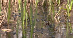 Beautifull footage about Moor Frogs Mating 4K, UHD Stock Footage