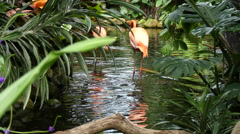 Two flamingos wading water Stock Footage