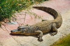 Alligator or crocodile in zoo - stock photo