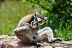 Ring-tailed Lemur licks his leg Stock Photos