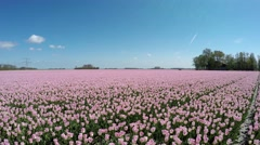 Aerial drone drifting right very low altitude over pink tulip field 4k Stock Footage