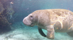 A manatee gently rises while small fish feed on his moss Stock Footage