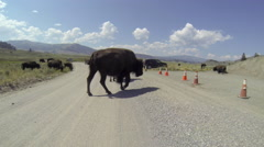 Bison Herd Crossing Road POV Time Lapse Stock Footage
