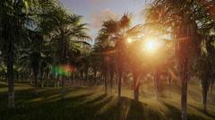 Oil Palm Tree Plantation against beautiful sunrise, fly through Stock Footage