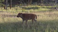 Bison Calf Walking Along Road Stock Footage