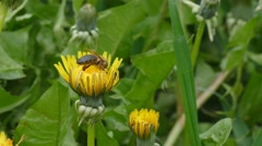 A bee collecting pollen from a dandelion - stock footage