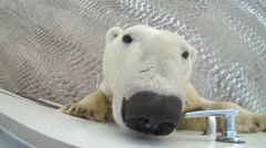 Large polar bear gathers the scent from a tundra buggy Stock Footage