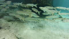 A school of silvery fish, and one yellowtail head for their next location Stock Footage