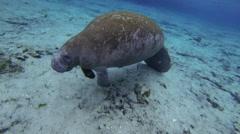 Manatee goes 3/4 erect to take a breath Stock Footage