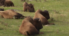 Bison resting in grass and panting - stock footage