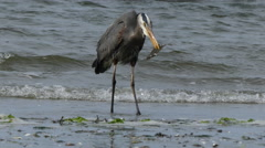 Great blue heron holding fish in beac - stock footage