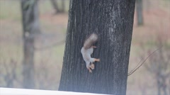 View of grey squirrel with brown paws and fluffy tail sit on trunk of tree in Stock Footage
