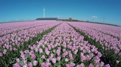 Aerial flying low altitude towards farm over colorful pink tulip field 4k Stock Footage