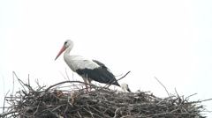 Crane Bird in his Nest - stock footage