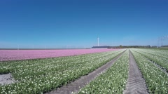 Tulip field camera pan blue-sky background beautfiul pink and white flowers 4k Stock Footage