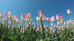 Tulips low angle blue-sky background pink white flowers slowly moved by wind 4k Stock Footage