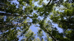 High angle view looking up at the top of the wind swinging giant hardwood trees Stock Footage