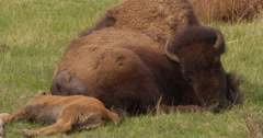 Bison mother pants lying next to calf with head tilted - stock footage