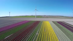 Aerial flying backwards tulip fields pink green yellow and white colors 4k Stock Footage