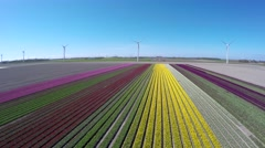 Aerial flying forwards tulip fields pink green yellow and white colors 4k Stock Footage